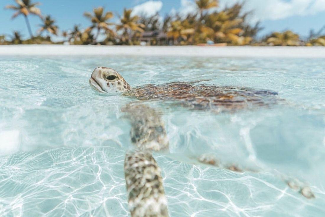 Turtle, spott beach, cayman enterprise city